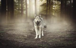 livres loup